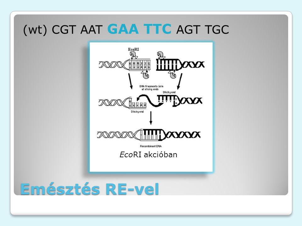 Emésztés RE-vel (wt) CGT AAT GAA TTC AGT TGC EcoRI akcióban