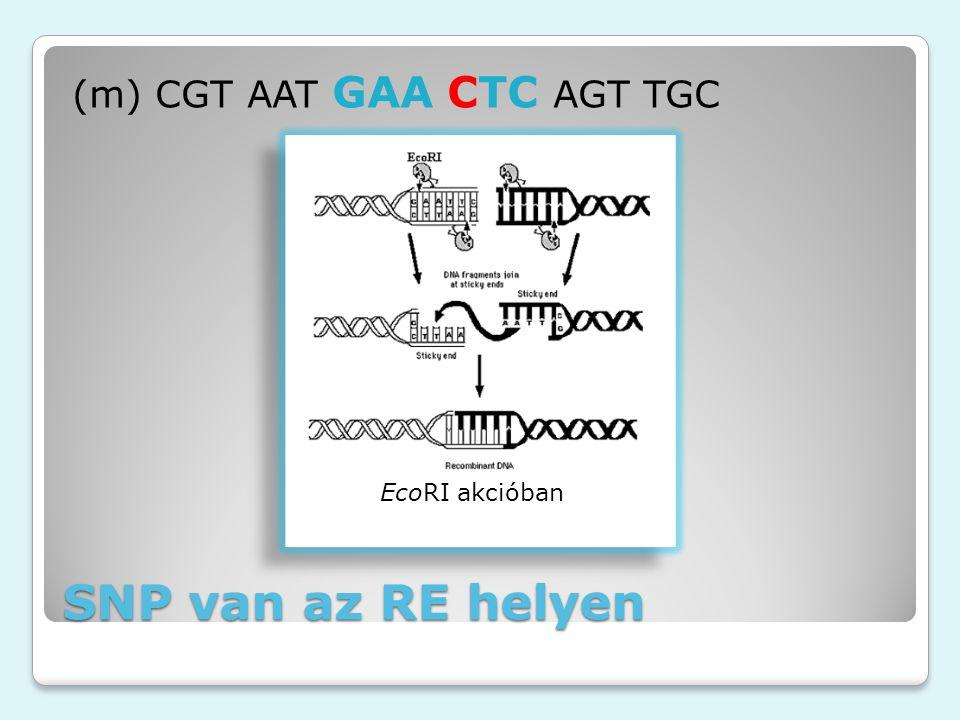 SNP van az RE helyen (m) CGT AAT GAA CTC AGT TGC EcoRI akcióban