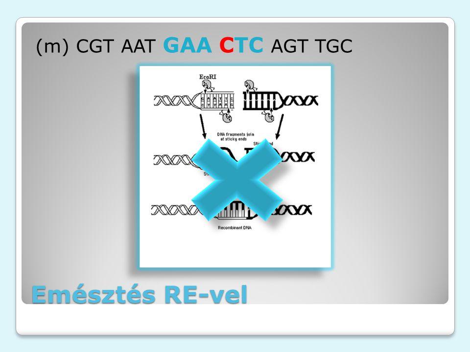 Emésztés RE-vel (m) CGT AAT GAA CTC AGT TGC EcoRI akcióban