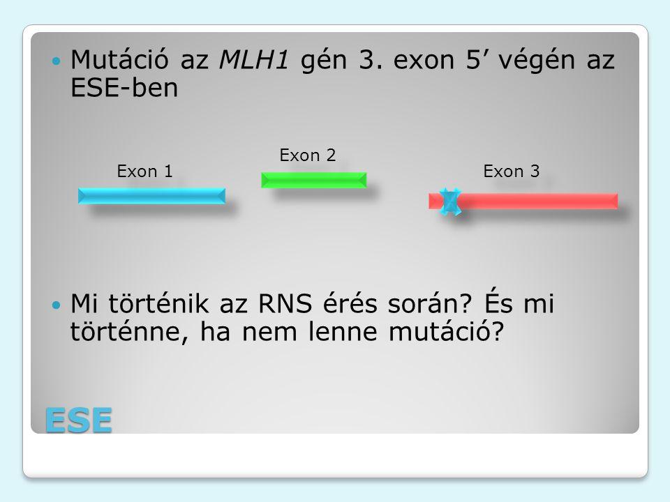 ESE Mutáció az MLH1 gén 3. exon 5' végén az ESE-ben Mi történik az RNS érés során? És mi történne, ha nem lenne mutáció? Exon 1 Exon 2 Exon 3