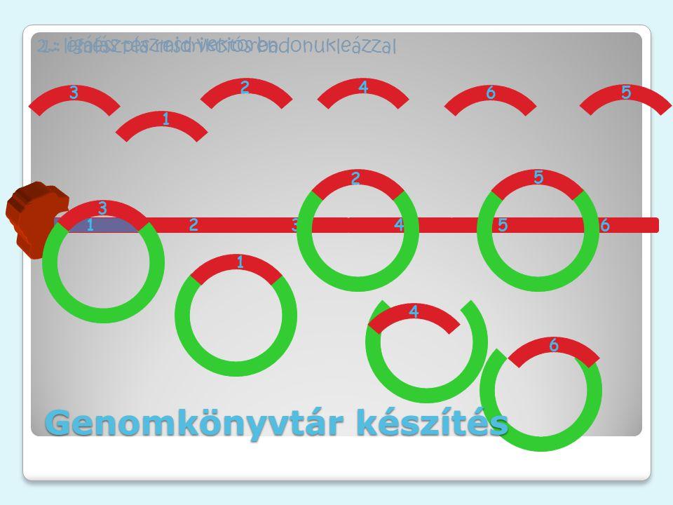 1 23456 2.: ligálás plazmid vektorba 1.: emésztés restrikciós endonukleázzal 1 2 53 4 6 1 2 5 3 4 6 Genomkönyvtár készítés