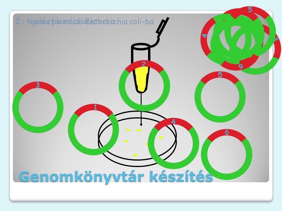 3.: transzformáció Escherichia coli-ba 3 1 2 4 5 6 3 1 2 4 5 6 2.: ligálás plazmid vektorba