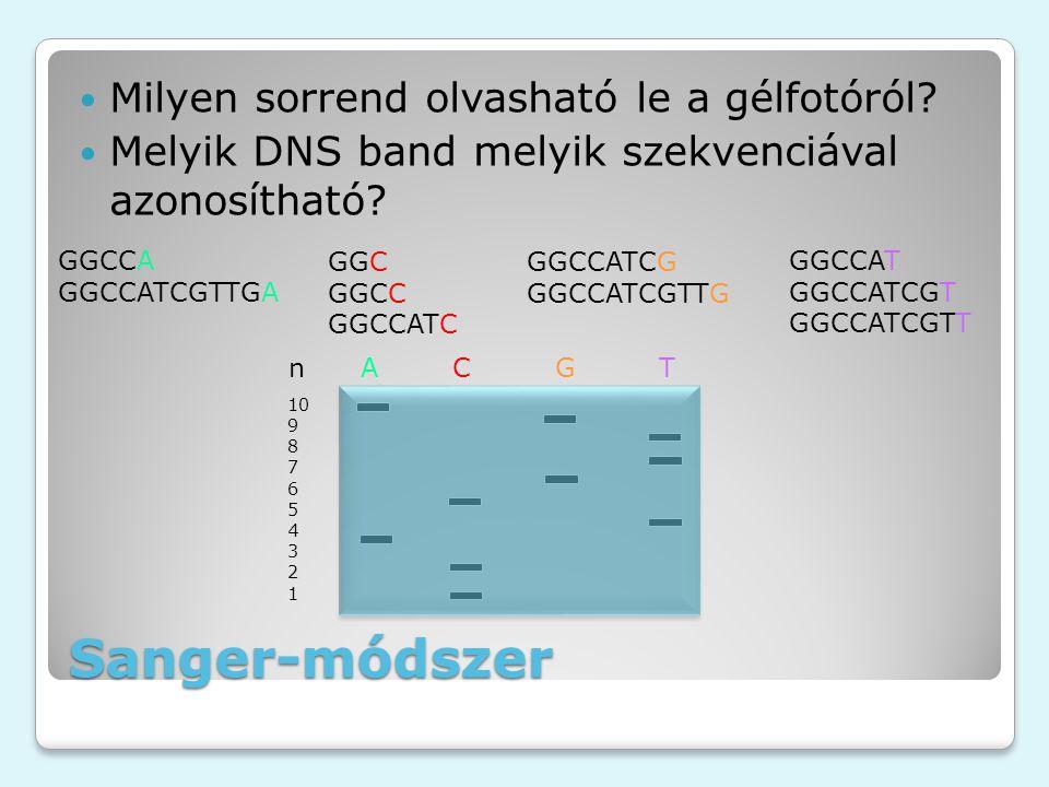 Sanger-módszer Milyen sorrend olvasható le a gélfotóról? Melyik DNS band melyik szekvenciával azonosítható? n A C G T 10 9 8 7 6 5 4 3 2 1 GGCCA GGCCA