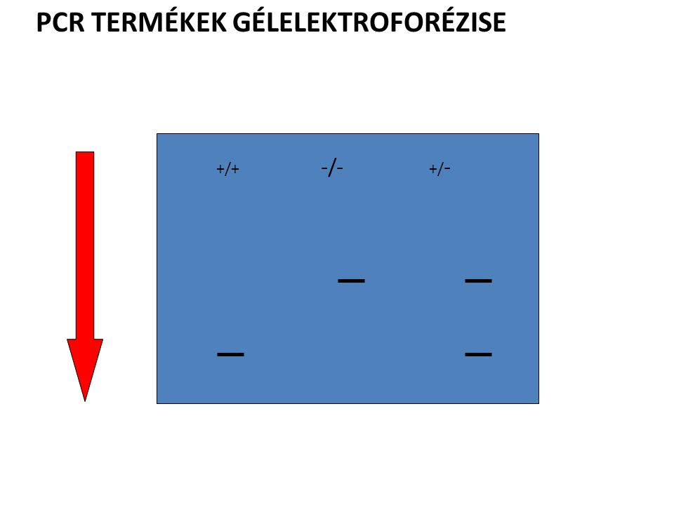 PCR TERMÉKEK GÉLELEKTROFORÉZISE +/+ -/- +/ -