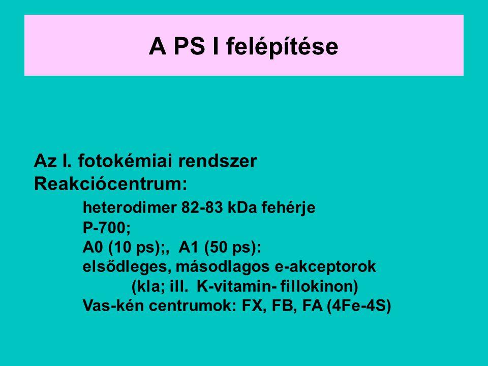 A PS I felépítése Az I. fotokémiai rendszer Reakciócentrum: heterodimer 82-83 kDa fehérje P-700; A0 (10 ps);, A1 (50 ps): elsődleges, másodlagos e-akc