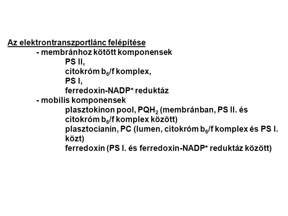 Az elektrontranszportlánc felépítése - membránhoz kötött komponensek PS II, citokróm b 6 /f komplex, PS I, ferredoxin-NADP + reduktáz - mobilis kompon