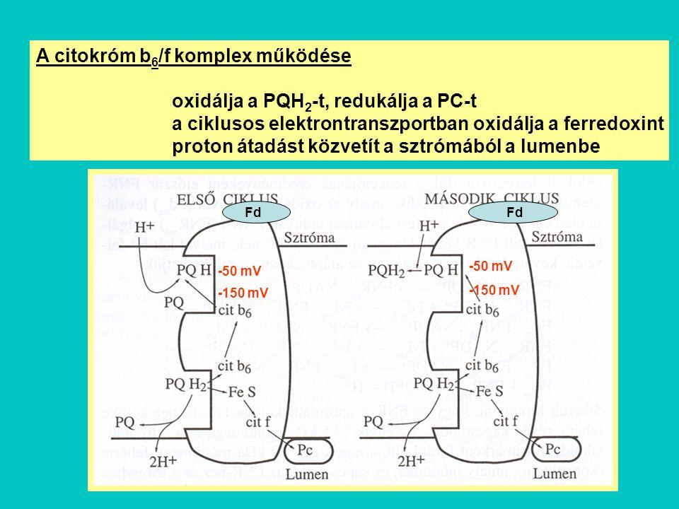 A citokróm b 6 /f komplex működése oxidálja a PQH 2 -t, redukálja a PC-t a ciklusos elektrontranszportban oxidálja a ferredoxint proton átadást közvet