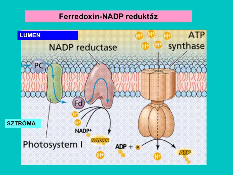 Ferredoxin-NADP reduktáz SZTRÓMA LUMEN