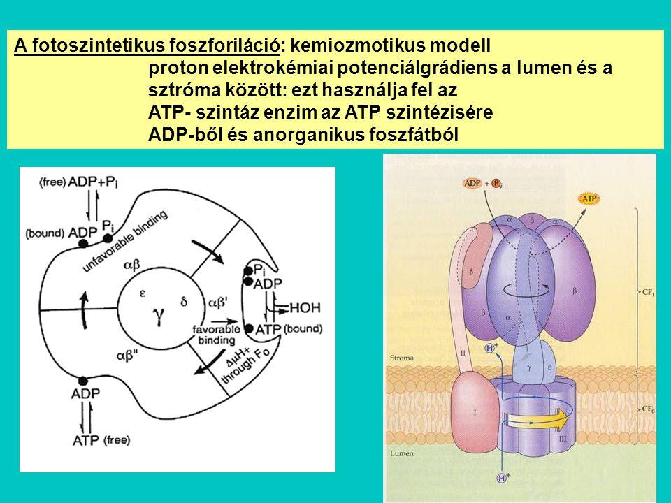 A fotoszintetikus foszforiláció: kemiozmotikus modell proton elektrokémiai potenciálgrádiens a lumen és a sztróma között: ezt használja fel az ATP- sz
