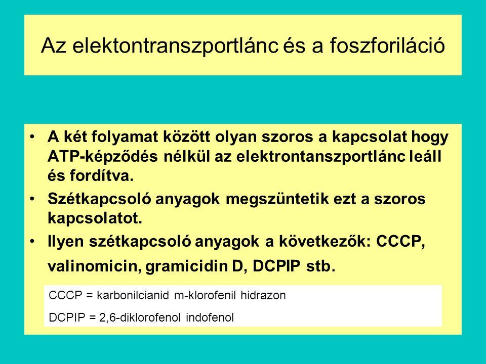 Az elektontranszportlánc és a foszforiláció A két folyamat között olyan szoros a kapcsolat hogy ATP-képződés nélkül az elektrontanszportlánc leáll és