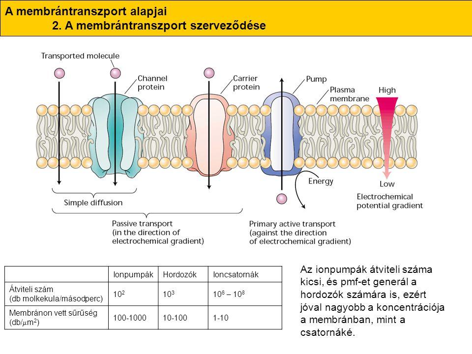 A membrántranszport alapjai 2. A membrántranszport szerveződése IonpumpákHordozókIoncsatornák Átviteli szám (db molkekula/másodperc) 10 2 10 3 10 6 –