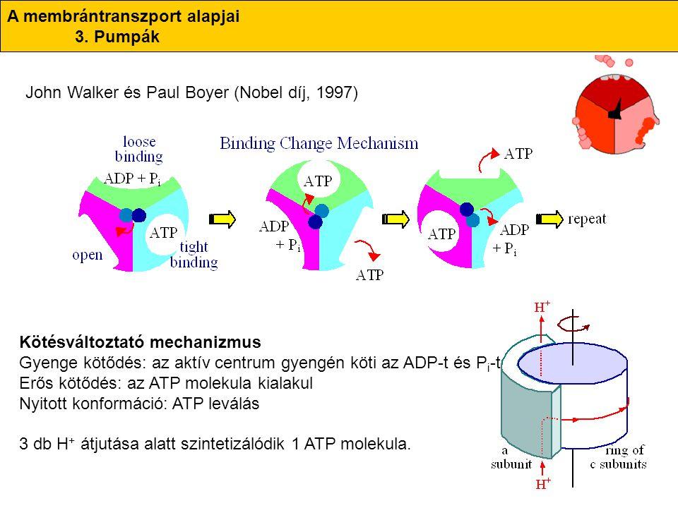 A membrántranszport alapjai 3. Pumpák John Walker és Paul Boyer (Nobel díj, 1997) Kötésváltoztató mechanizmus Gyenge kötődés: az aktív centrum gyengén