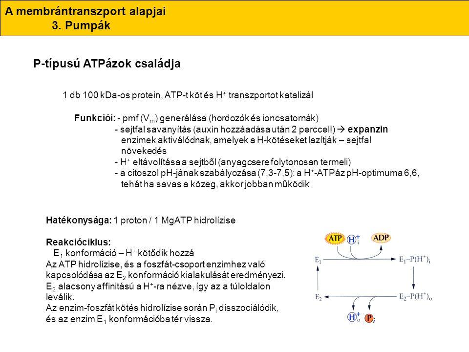 A membrántranszport alapjai 3. Pumpák P-típusú ATPázok családja 1 db 100 kDa-os protein, ATP-t köt és H + transzportot katalizál Funkciói: - pmf (V m