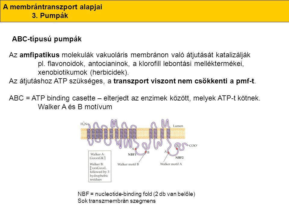 A membrántranszport alapjai 3. Pumpák ABC-típusú pumpák Az amfipatikus molekulák vakuoláris membránon való átjutását katalizálják pl. flavonoidok, ant