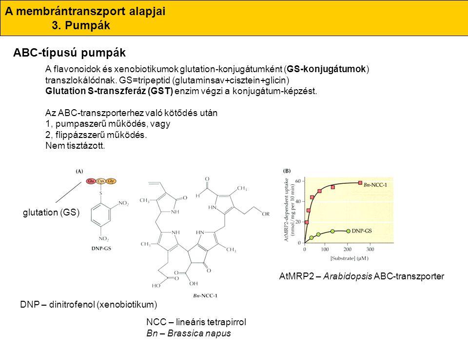 A flavonoidok és xenobiotikumok glutation-konjugátumként (GS-konjugátumok) transzlokálódnak. GS=tripeptid (glutaminsav+cisztein+glicin) Glutation S-tr