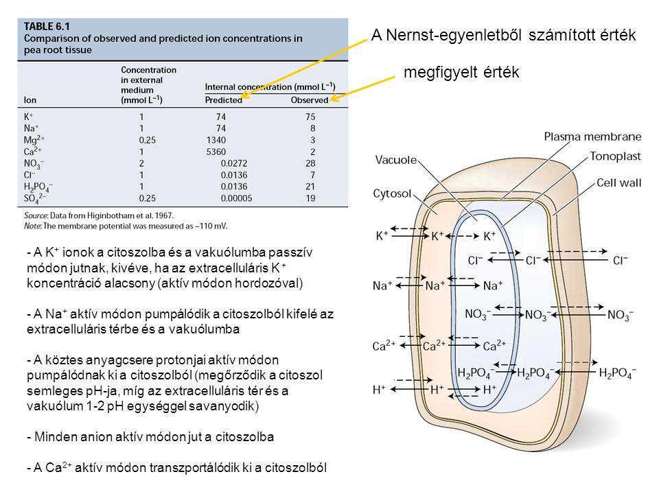 A Nernst-egyenletből számított érték megfigyelt érték - A K + ionok a citoszolba és a vakuólumba passzív módon jutnak, kivéve, ha az extracelluláris K