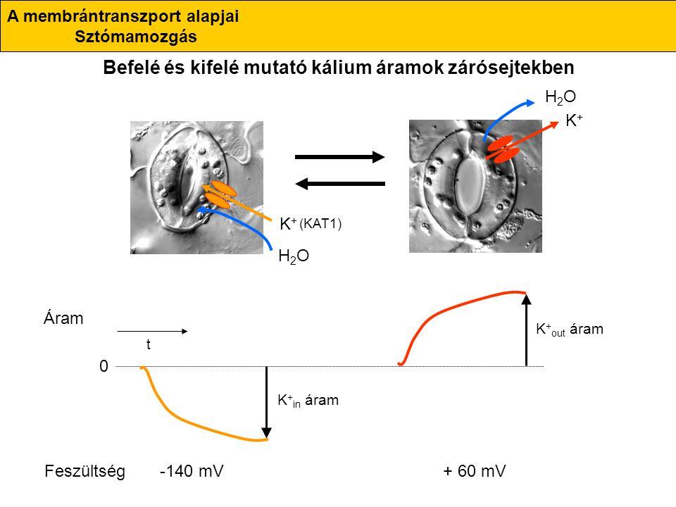 K+K+ H2OH2O K+K+ H2OH2O K + in áram K + out áram 0 Áram Feszültség+ 60 mV-140 mV t (KAT1) Befelé és kifelé mutató kálium áramok zárósejtekben A membrá