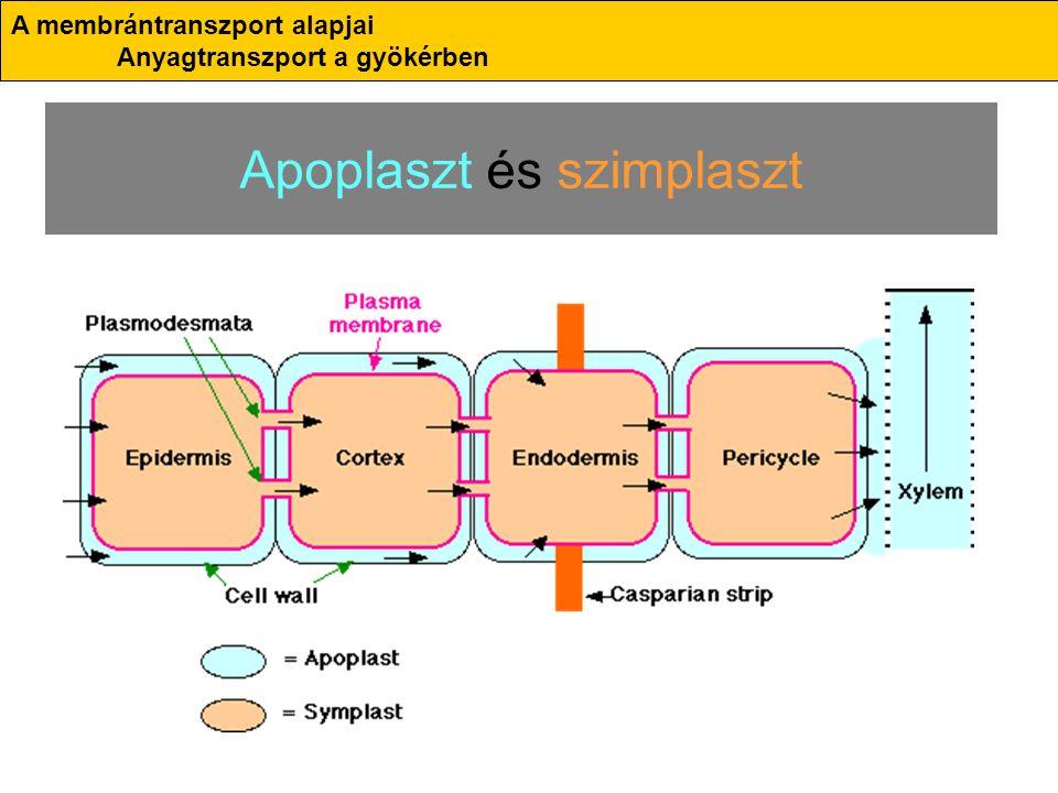 Apoplaszt és szimplaszt A membrántranszport alapjai Anyagtranszport a gyökérben