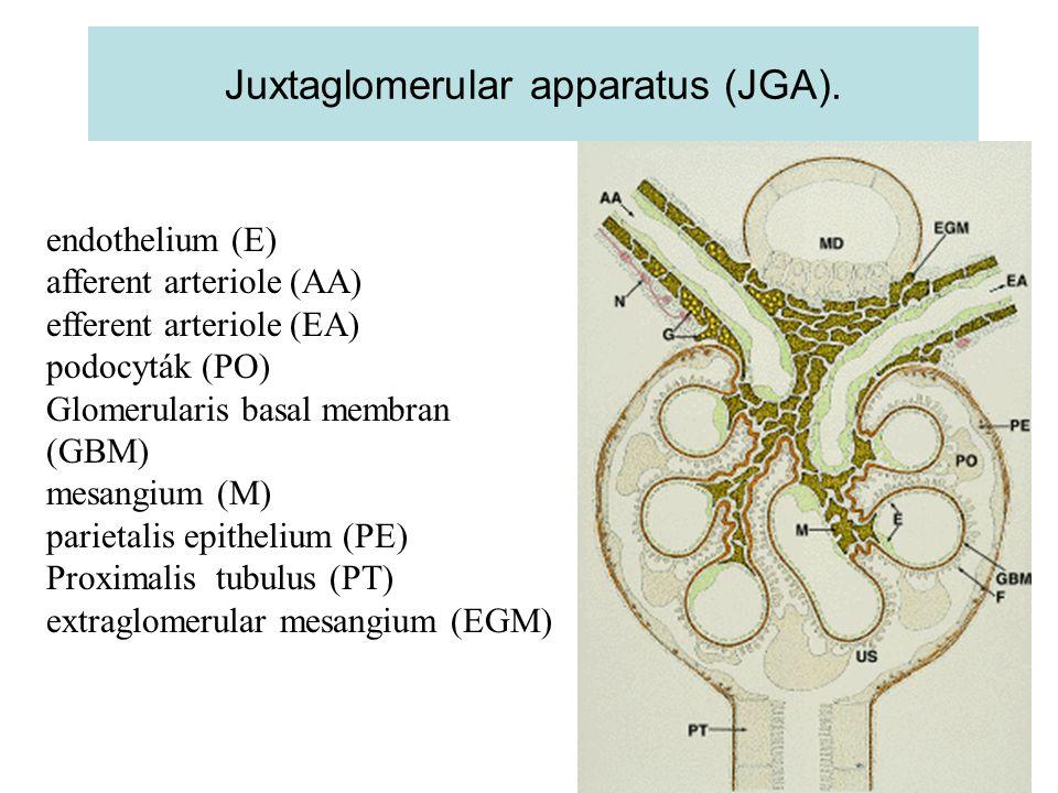 Juxtaglomerular apparatus (JGA).