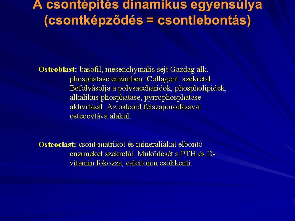 A csontépítés dinamikus egyensúlya (csontképződés = csontlebontás)
