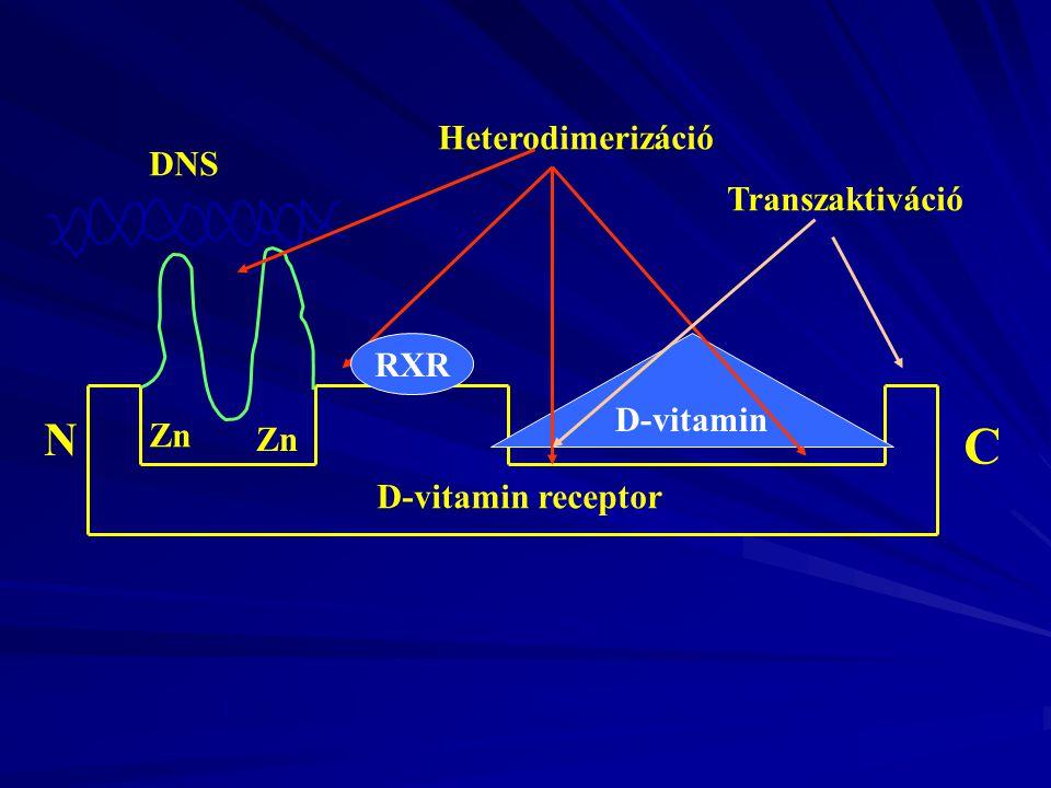 Zn DNS D-vitamin Heterodimerizáció C N Transzaktiváció D-vitamin receptor RXR