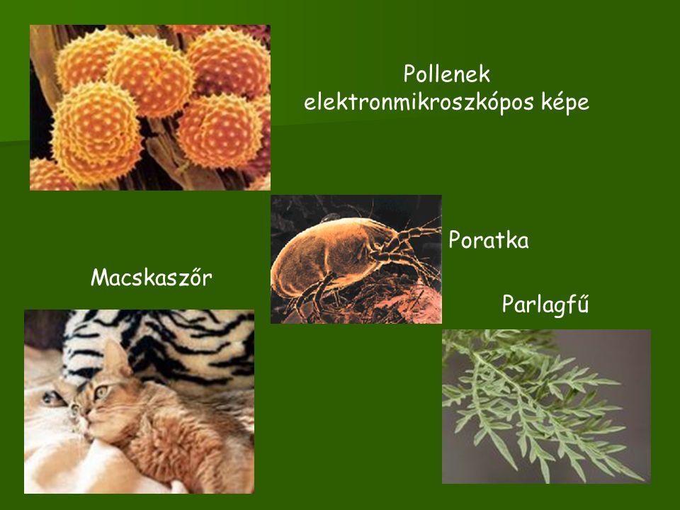 Pollenek elektronmikroszkópos képe Parlagfű Macskaszőr Poratka
