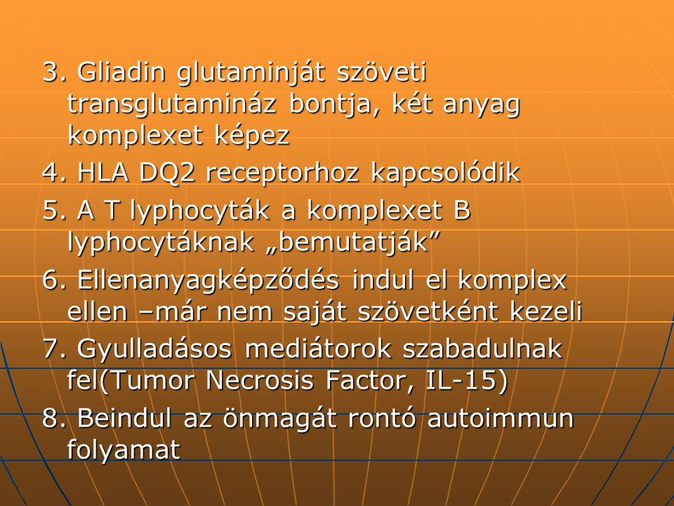 3. Gliadin glutaminját szöveti transglutamináz bontja, két anyag komplexet képez 4. HLA DQ2 receptorhoz kapcsolódik 5. A T lyphocyták a komplexet B ly