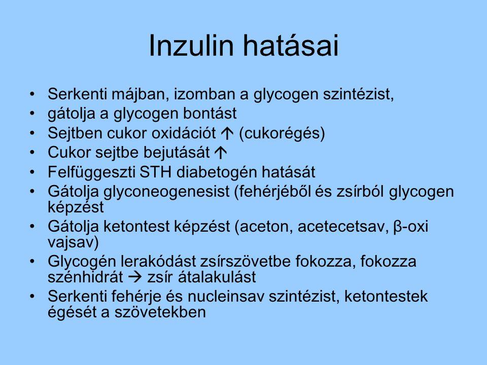 Inzulin hatásai Serkenti májban, izomban a glycogen szintézist, gátolja a glycogen bontást Sejtben cukor oxidációt  (cukorégés) Cukor sejtbe bejutásá