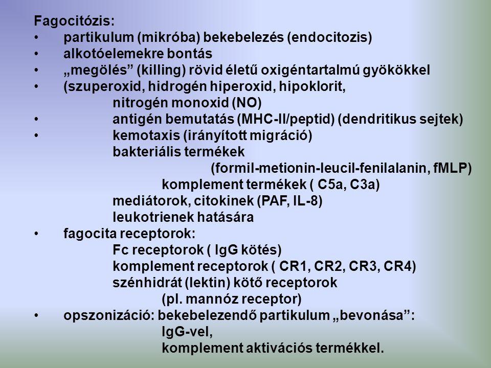 """Fagocitózis: partikulum (mikróba) bekebelezés (endocitozis) alkotóelemekre bontás """"megölés"""" (killing) rövid életű oxigéntartalmú gyökökkel (szuperoxid"""