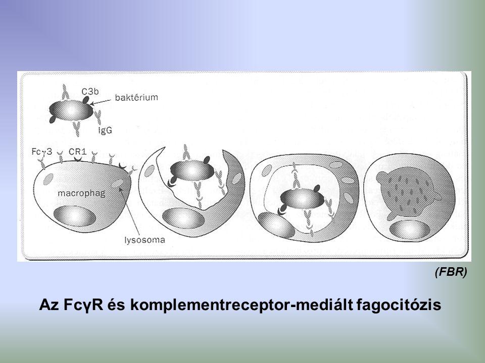 Az FcγR és komplementreceptor-mediált fagocitózis (FBR)