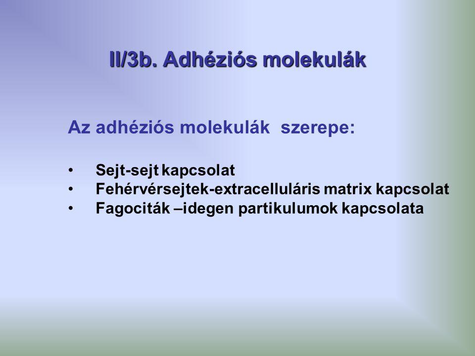 II/3b. Adhéziós molekulák Az adhéziós molekulák szerepe: Sejt-sejt kapcsolat Fehérvérsejtek-extracelluláris matrix kapcsolat Fagociták –idegen partiku