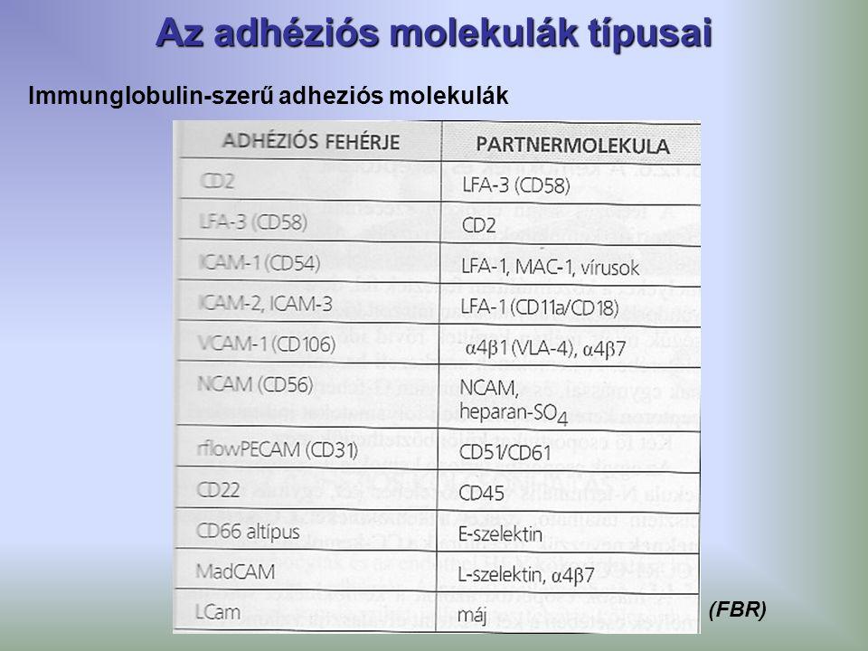 Az adhéziós molekulák típusai Immunglobulin-szerű adheziós molekulák (FBR)
