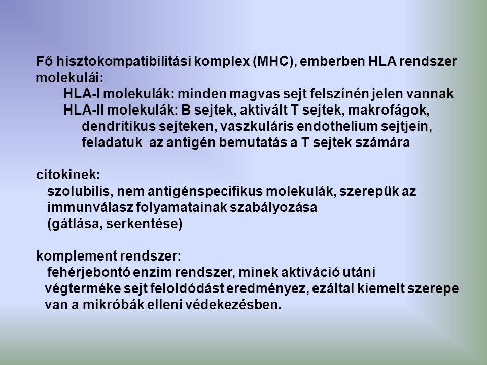 Fő hisztokompatibilitási komplex (MHC), emberben HLA rendszer molekulái: HLA-I molekulák: minden magvas sejt felszínén jelen vannak HLA-II molekulák: