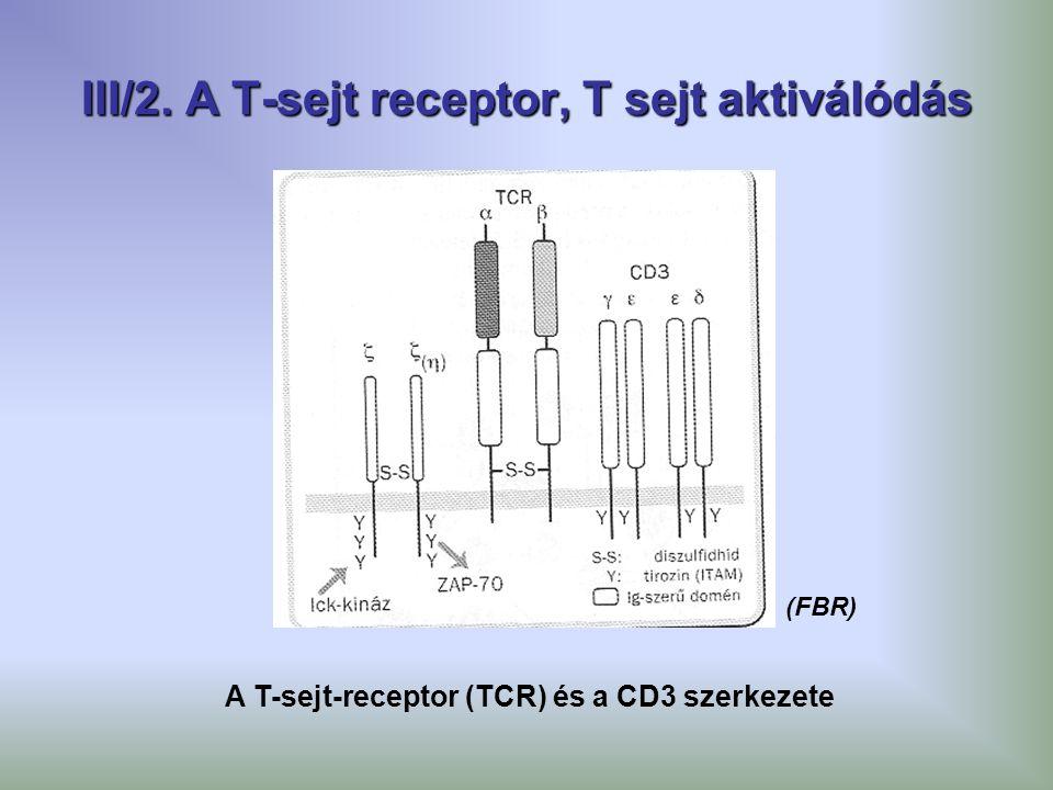 III/2. A T-sejt receptor, T sejt aktiválódás A T-sejt-receptor (TCR) és a CD3 szerkezete (FBR)