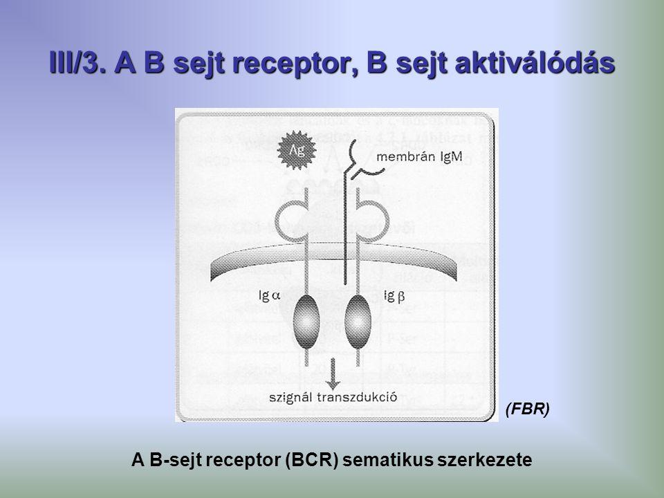 III/3. A B sejt receptor, B sejt aktiválódás A B-sejt receptor (BCR) sematikus szerkezete (FBR)