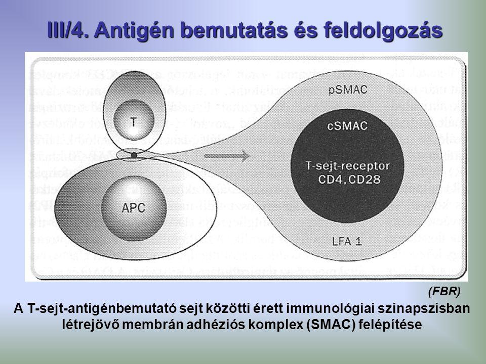 III/4. Antigén bemutatás és feldolgozás A T-sejt-antigénbemutató sejt közötti érett immunológiai szinapszisban létrejövő membrán adhéziós komplex (SMA