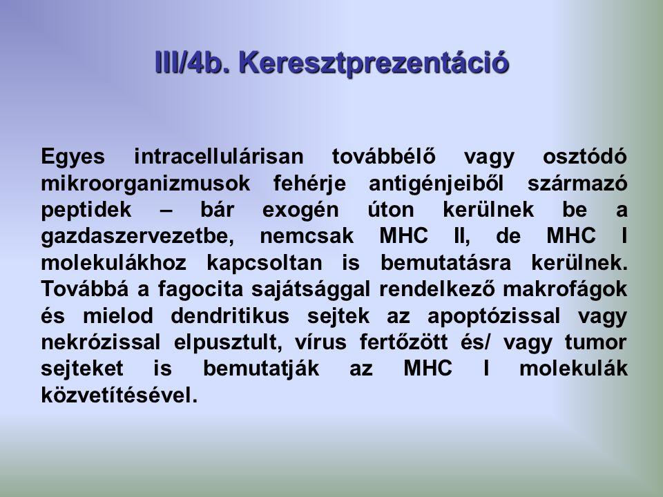 III/4b. Keresztprezentáció Egyes intracellulárisan továbbélő vagy osztódó mikroorganizmusok fehérje antigénjeiből származó peptidek – bár exogén úton
