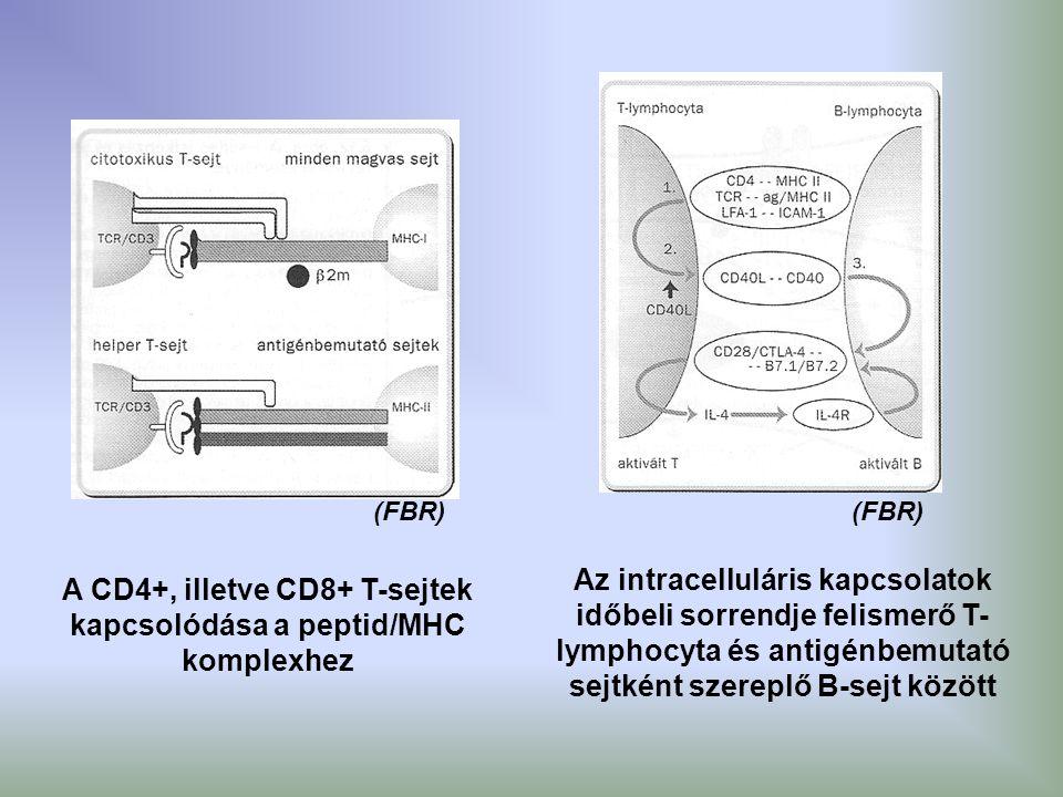 A CD4+, illetve CD8+ T-sejtek kapcsolódása a peptid/MHC komplexhez Az intracelluláris kapcsolatok időbeli sorrendje felismerő T- lymphocyta és antigén