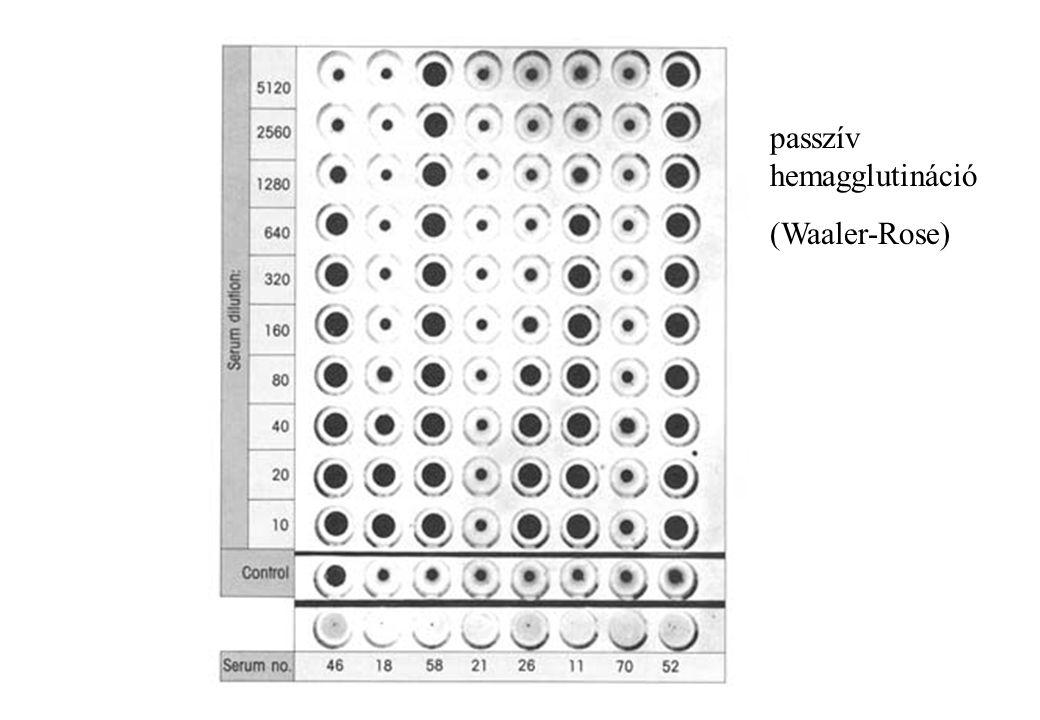 passzív hemagglutináció (Waaler-Rose)