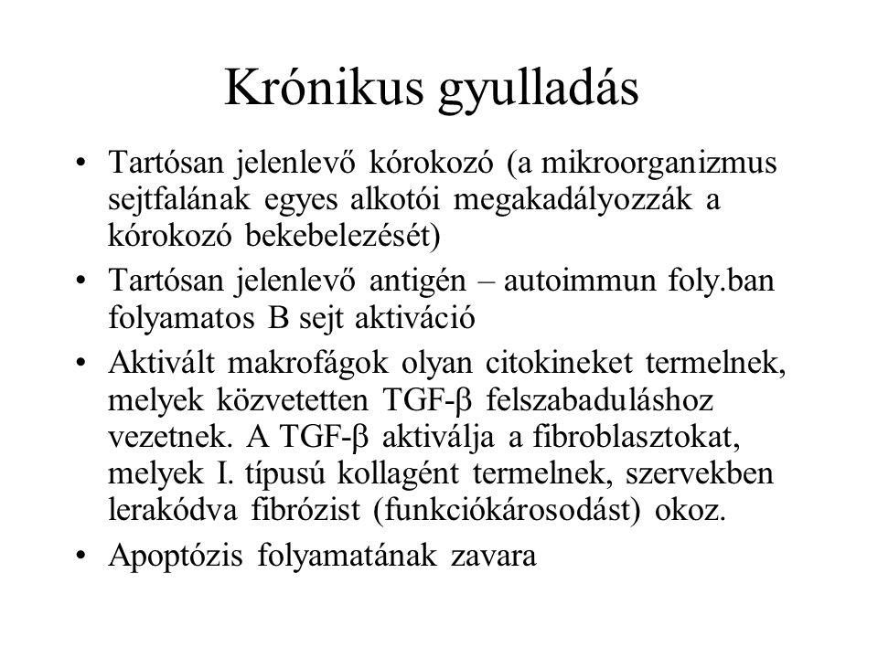 Krónikus gyulladás Tartósan jelenlevő kórokozó (a mikroorganizmus sejtfalának egyes alkotói megakadályozzák a kórokozó bekebelezését) Tartósan jelenle