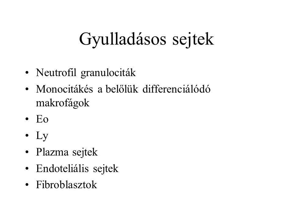 Gyulladásos sejtek Neutrofil granulociták Monocitákés a belőlük differenciálódó makrofágok Eo Ly Plazma sejtek Endoteliális sejtek Fibroblasztok