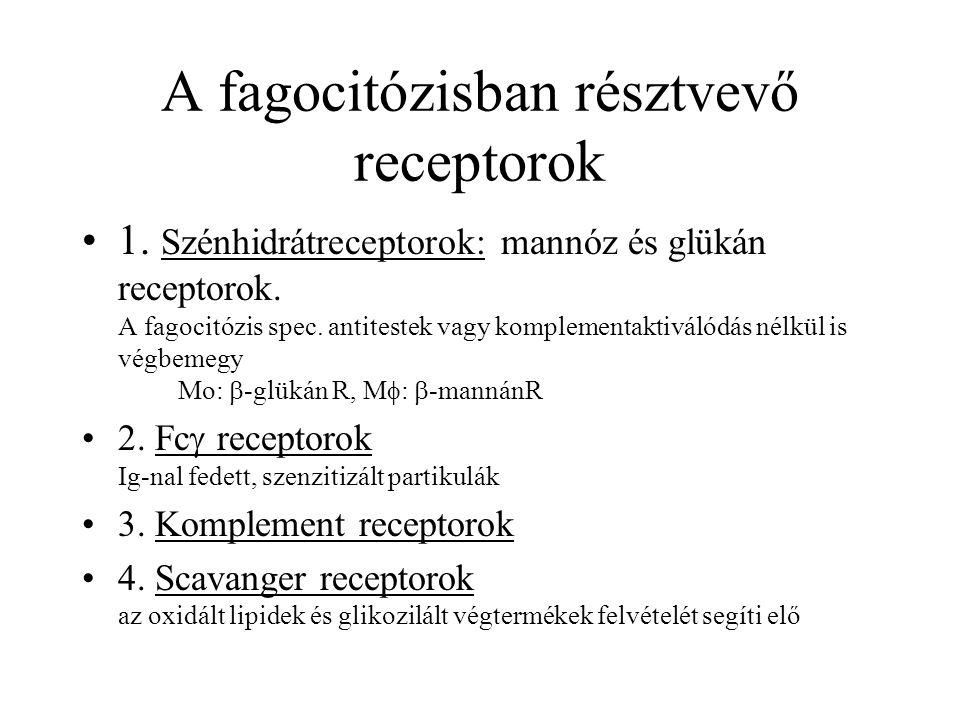 A fagocitózisban résztvevő receptorok 1. Szénhidrátreceptorok: mannóz és glükán receptorok. A fagocitózis spec. antitestek vagy komplementaktiválódás