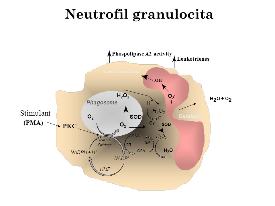 Neutrofil granulocita Phagosome O2O2 O2-O2- H2O2H2O2 NADPH + H + NADP + HMP NADPH Oxidase GSSG GSH GR GP SOD O2-O2- H+H+ Catalase H 2 O + O 2 SOD Stim