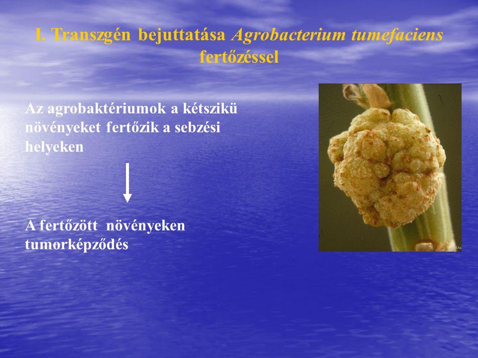 I. Transzgén bejuttatása Agrobacterium tumefaciens fertőzéssel Az agrobaktériumok a kétszikü növényeket fertőzik a sebzési helyeken A fertőzött növény