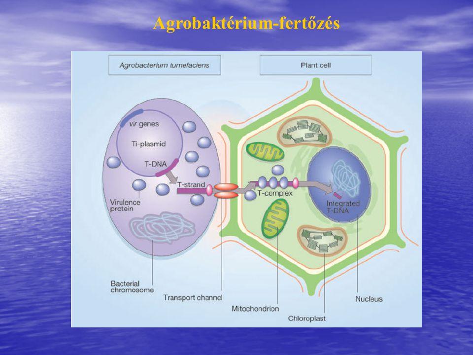 Agrobaktérium-fertőzés