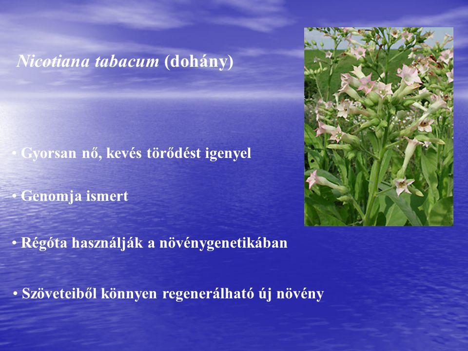 Nicotiana tabacum (dohány) Gyorsan nő, kevés törődést igenyel Régóta használják a növénygenetikában Szöveteiből könnyen regenerálható új növény Genomja ismert