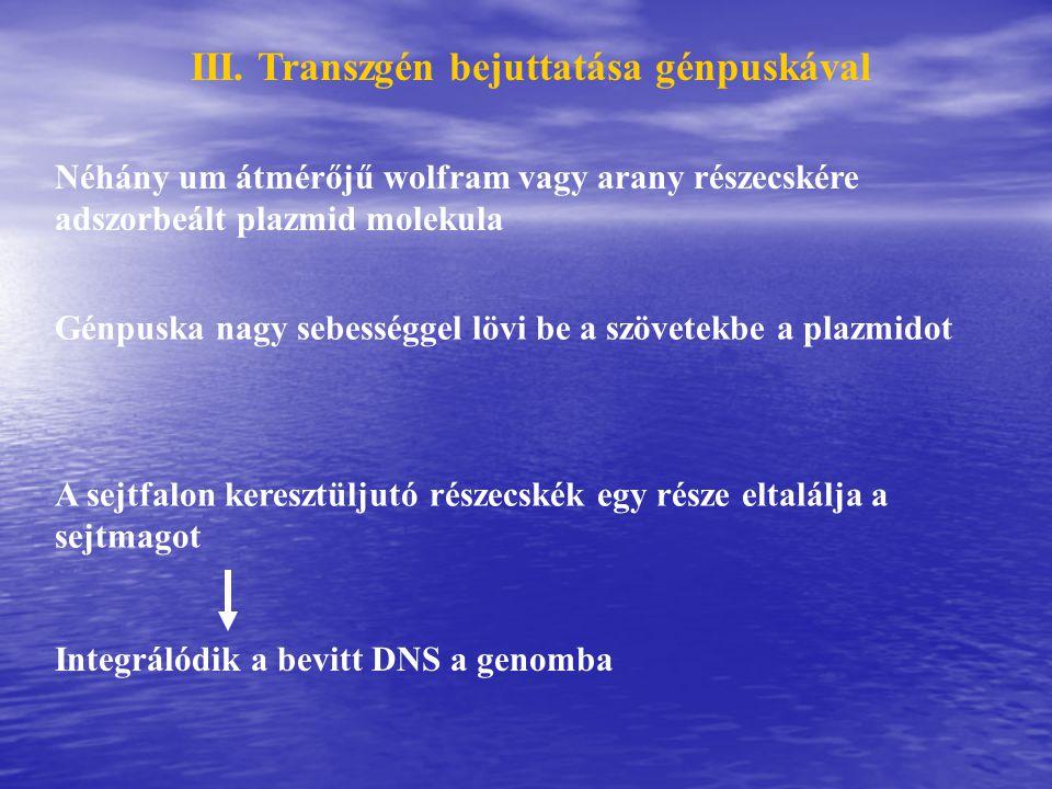 III. Transzgén bejuttatása génpuskával Néhány um átmérőjű wolfram vagy arany részecskére adszorbeált plazmid molekula Génpuska nagy sebességgel lövi b