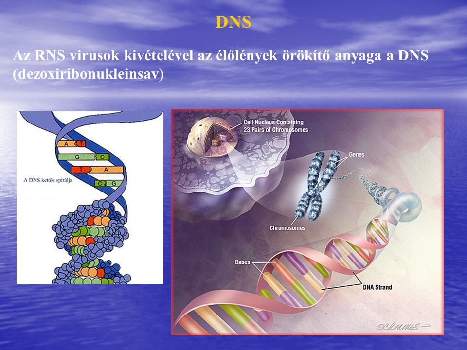 DNS Az RNS virusok kivételével az élőlények örökítő anyaga a DNS (dezoxiribonukleinsav)