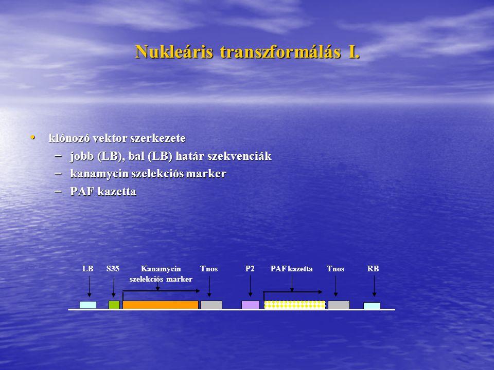 Nukleáris transzformálás I. klónozó vektor szerkezete klónozó vektor szerkezete – jobb (LB), bal (LB) határ szekvenciák – kanamycin szelekciós marker