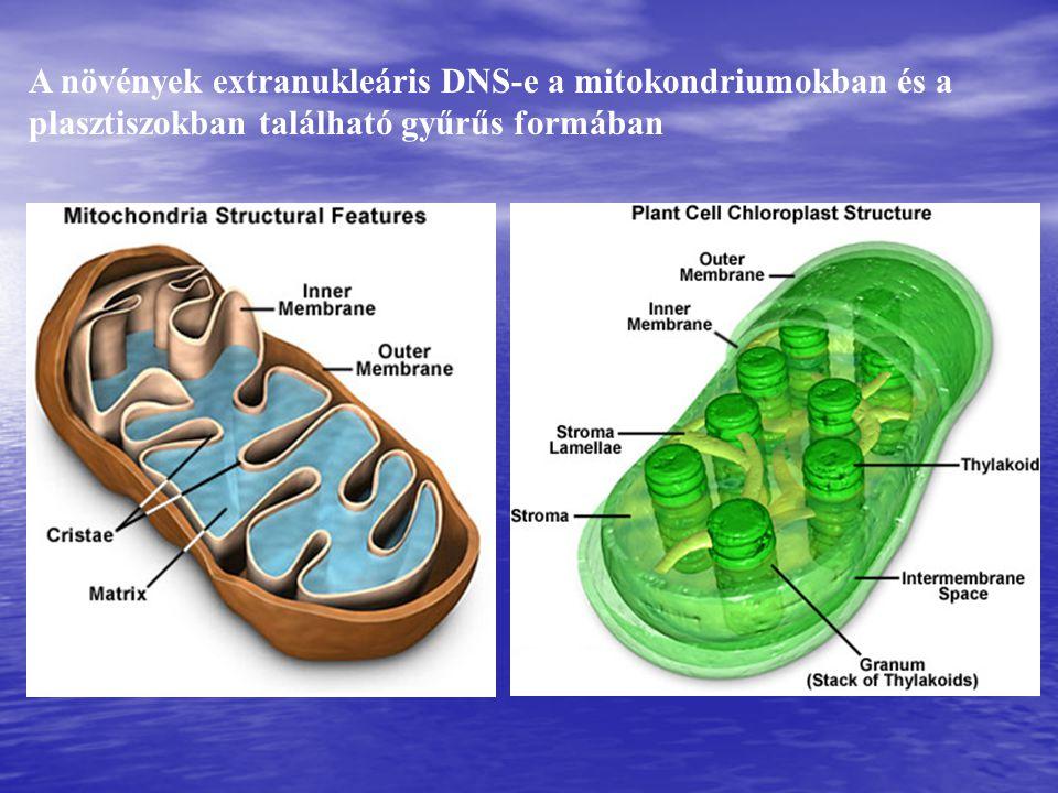 A növények extranukleáris DNS-e a mitokondriumokban és a plasztiszokban található gyűrűs formában